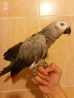 Master african grey parrot, super professional