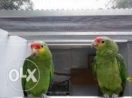 blue fronted amazoun and red hed amazoun for sale