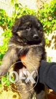 Super Showline German Shepherd Long hair