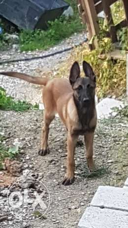 Malinois for sale
