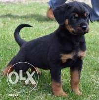 Need a rotweier puppie male or female free and original