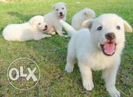 imported white german puppies