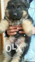 Gsd for sale pure