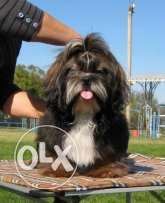 Best Shih Tzu Male Puppy