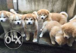 japanese akita inu males and females for only 700$