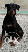 Cute rottweiler female for sale and very friendly