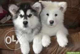 "Any husky( malumate )male ""tripoli"""