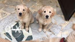 dogs for sale - female golden