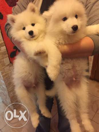 Puppies Samoyed حارة حريك -  1