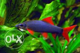 Rainbow shark fish