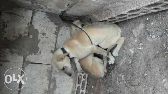 2 dogs females for sale only 50 dollar eza nwito bzabet l se3er mixed.