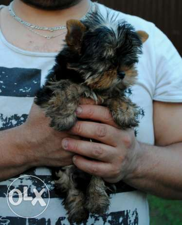 Imported TeaCup Yorkshire Terrier