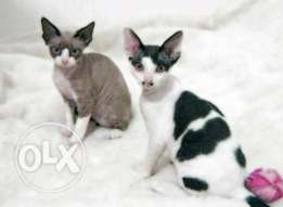 Cats Devon Rex
