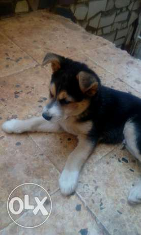 Husky male for sale or trade
