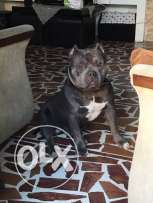 american bully terrier 1year 5 month for sale imported from usa