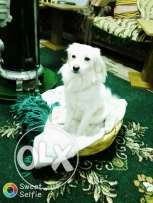 Loulo white dog