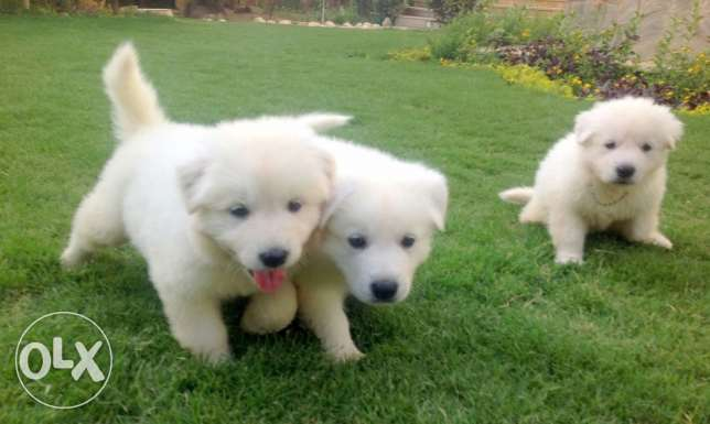 Imported white swiss berger puppies
