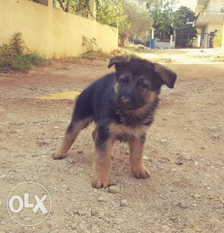 German shepherd الكورة -  2
