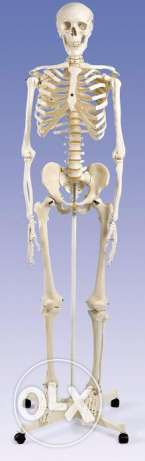 Skeleton for medical use