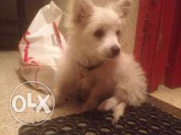 loulou for sale