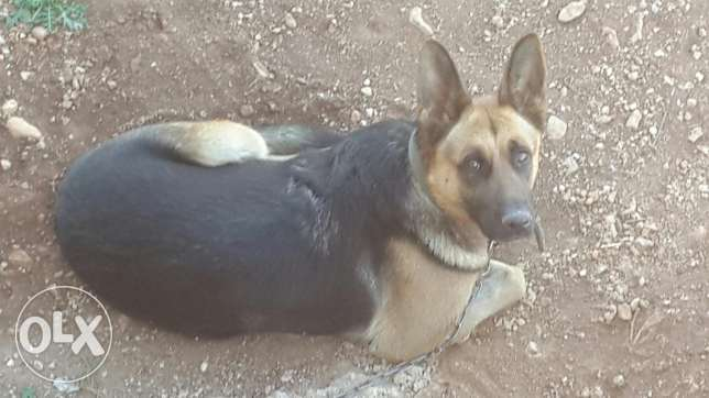 Pure female German shepherd Gsd for sale صور -  1