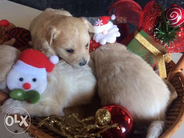 Loulou Spitz Puppies Ideal Gift for Christmas انطلياس -  5