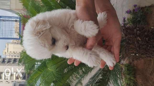 Bichon female puppy