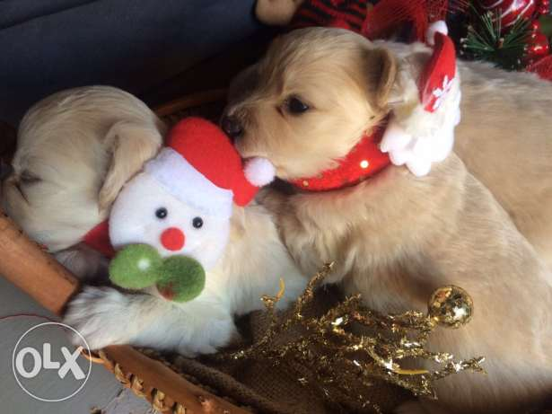 Loulou Spitz Puppies Ideal Gift for Christmas انطلياس -  8