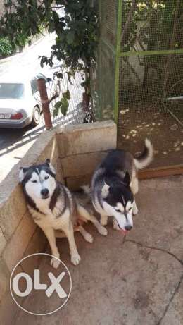 male and female and 1 puppy hasky