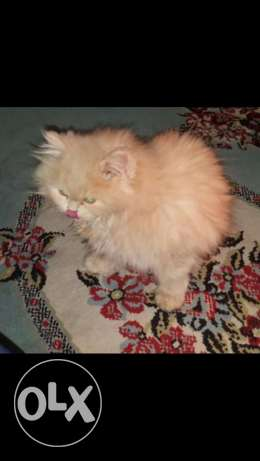 Golden white pure persian female cat