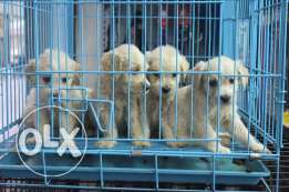 50 days old males and female vaccinated dewormed  Bichon