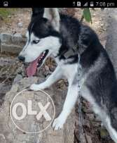 Husky male 1 year old blue eyes