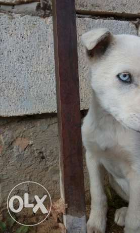 Female dog for sale 2 different eyes color