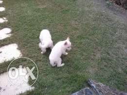 New White swiss Shepherd litter