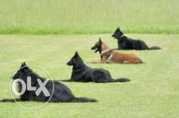 Highly trained protection dogs for sale