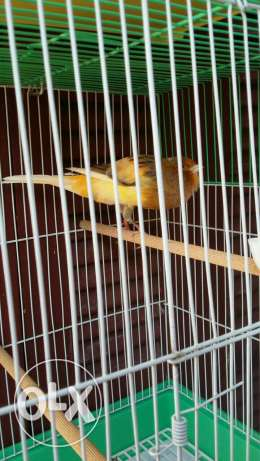Bird canary long