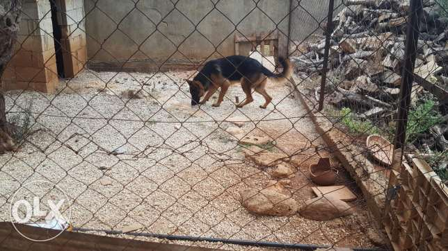 Male berger allemand for sale because of travelling الكورة -  3