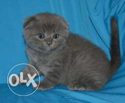 Exceptional Quality Champion parents Scottish Fold kitten