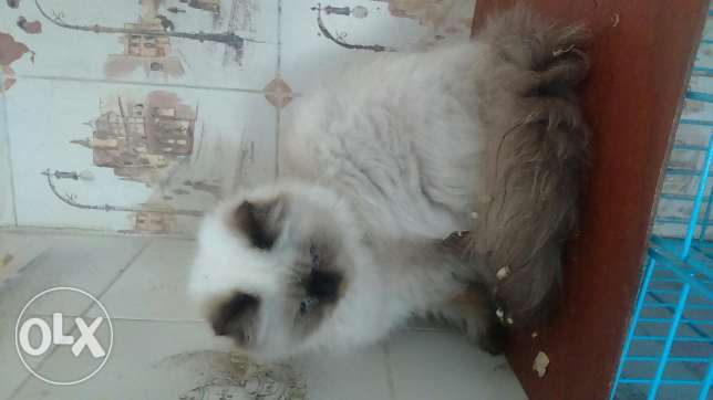 Cats for sale persian pure males and females 3omre 4 5 6 7 months كسروان -  4