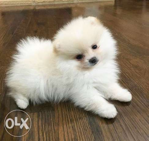 pomeranian teacup for sale