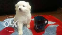 imported Bichon puppies
