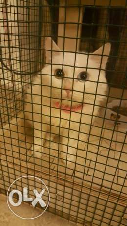 Need white male cat angora for mating