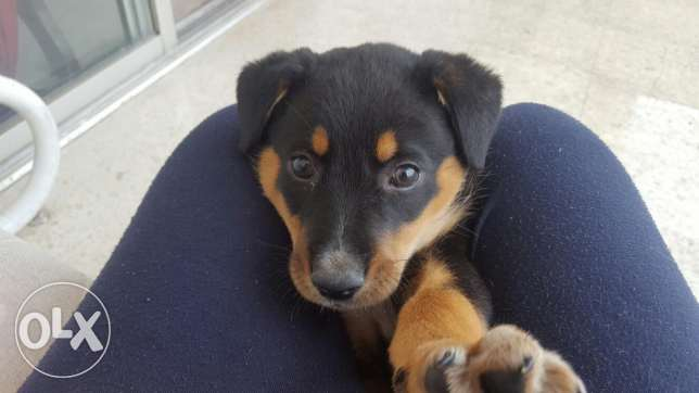 rotwieler pupie 2 month old for sale
