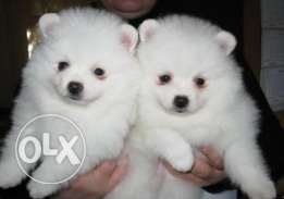Two Pomeranian Puppies Needs a New Family