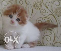 Very Cute KITTENS Highland Fold an Scottish Fold Available