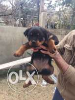 rottweiler puppies for sale 1.5 months