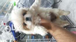 Pekingese Puppy For (((400$)))