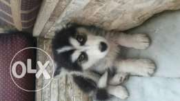 Husky puppy female for sale, price is negotiable