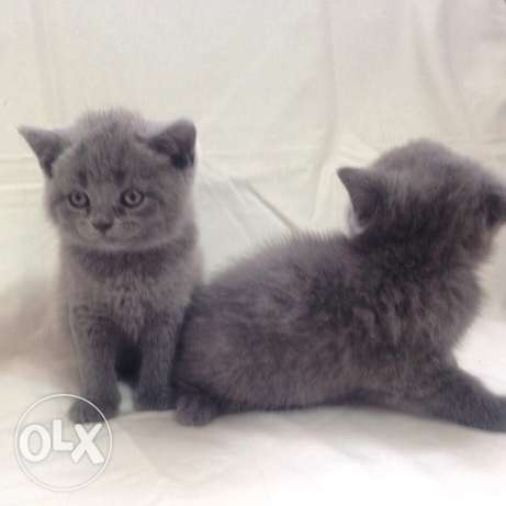 brittish & scottish fold
