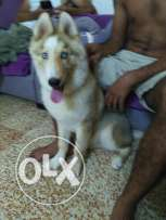 for sale dog hasky male